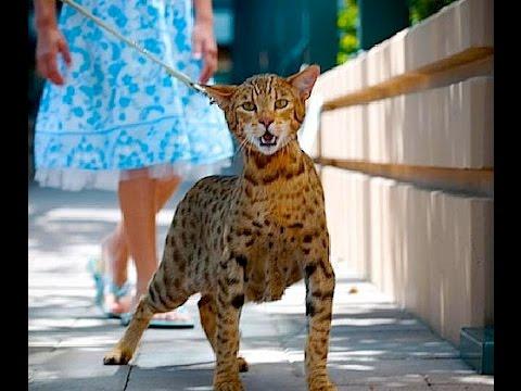 i 10 gatti più costosi al mondo