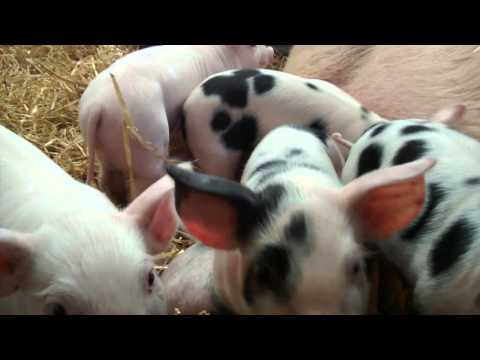 Nosy but adorable piglets at Mead Open Farm