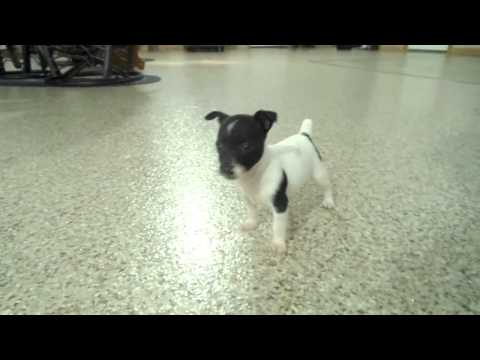 Sweety the rat terrier