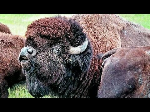 Researching Buffalo Photos