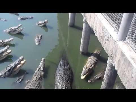 Dylan Jones teasing crocodiles in Chonburi 1million year old park.