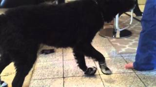 Samba Tries On Dog Booties for the First Time, and does Moose Walk