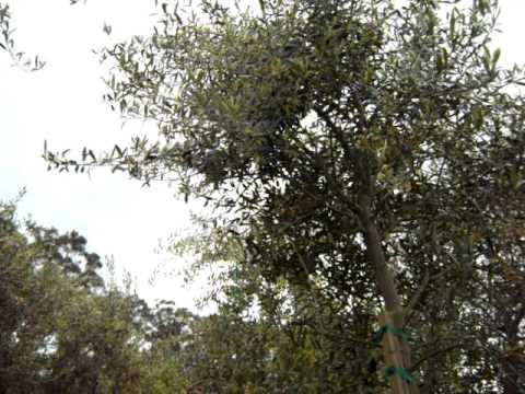 Olive, Mission olive, 24 box std.mov.AVI