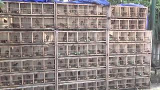 Mua bán chim Họa Mi