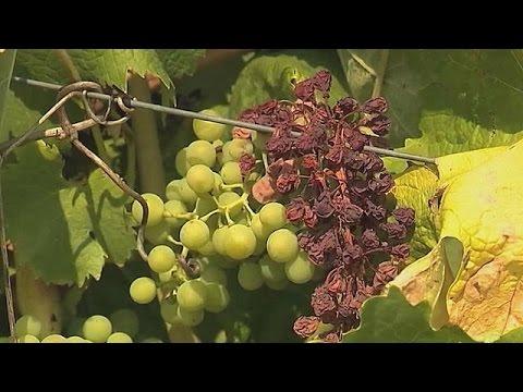 Γαλλία: Πλήγμα στην παραγωγή κρασιού, λόγω κακών καιρικών συνθηκών