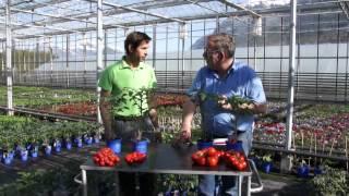 #601 Unterschiede und Vorteile bei jungen Tomatenpflanzen
