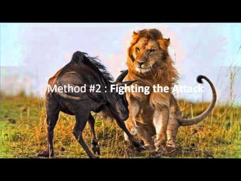 Video How To Survive A Lion Attack ? download in MP3, 3GP, MP4, WEBM, AVI, FLV January 2017