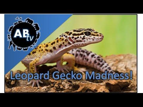 Leopard Gecko Madness! SnakeBytesTV : AnimalBytesTV