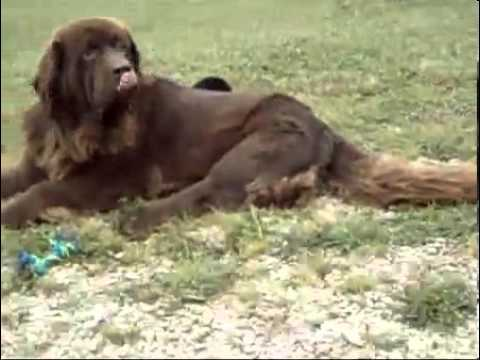 AKC OFA CH Newfoundland Puppies-Family Raised