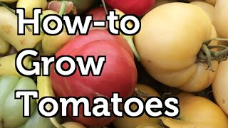 How to fertilize your tomatoes for free? How to plant, grow and trellis tomatoes? What are determinant and indeterminant tomatoes ...