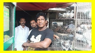 Pigeon  Robin dhaka Lalbag by Pigeon Hat Kaptan Bazar dhaka today 07-07-2017 (BD birds video)