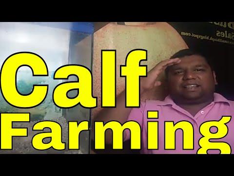 Calf Farming