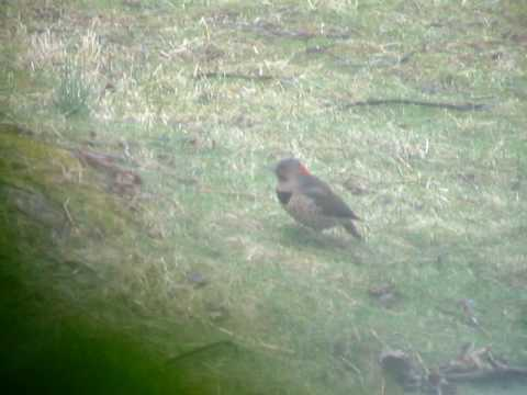 Northern Flicker, Video 1