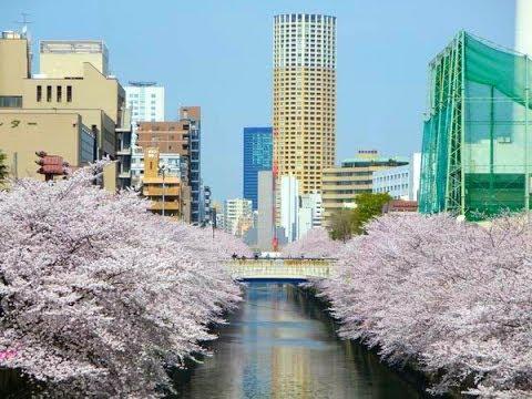 目黒川のお花見(桜)、Japan Travel Walking. Cherry blossoms in Meguro River.