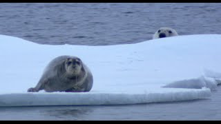 Ninja Polar Bear Attacks Bearded Seal Fail