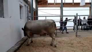 Video Dražba plemenného býka jménem Zikmund z Cunkova  na OPB Cunkov 15 10 2014 MP3, 3GP, MP4, WEBM, AVI, FLV Agustus 2017