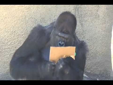 Santa Barbara Zoo's Gorillas Celebrate Kivu's Birthday