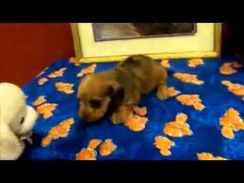 Red wire haired female dachshund