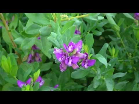 Poligala polygala myrtifolia plantas - Arbusto pequeno con flores ...