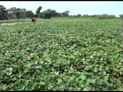 Sweetpotato Production In Ghana