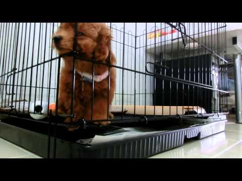 Amber Toy Poodle first time left alone (видео)