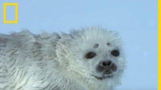 Un bébé phoque face à un ours polaire
