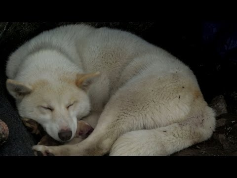 A Greenland Dog Gives Birth in the Arctic Wilderness