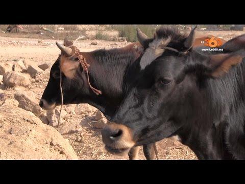 فيديو - هاعلاش المغاربة كيضحيو بالبقر