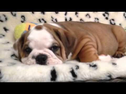 One handsome Victorian Bulldog puppy!!!