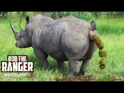 Video Endangered Southern White Rhino Marking His Territory download in MP3, 3GP, MP4, WEBM, AVI, FLV January 2017