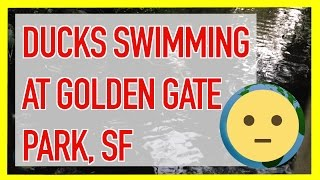 Check out a group ducks swimming / paddling in a small stream in Golden Gate Park in San Francisco, Ca.  Duck nomenclature - a group of ducks is called a raft or a team if they're on water.  Did not know that.  So, was walking in Golden Gate Park around dusk and saw a raft of ducks (or maybe a team of ducks) swimming in a calm stream.  There was a small old bridge that crossed the stream and it was so picturesque that I had to take a little video.  Very calm and serene.  If you look in the background, you'll see a raccoon lurking.  I have another video where I encounter this raccoon and its buddy or mate.  All in all a nice walk with critter encounters.Reading up on ducks for this video, I came across some cool info.  A male duck is called a Drake.  A female duck is called a duck.  A baby duck is called a duckling.  Is a duck a bird?  Yes, ducks are birds.  They are aquatic birds or waterfowl.  Specifically: Family‎: ‎Anatidae; Kingdom‎: ‎Animalia; Class‎: ‎Aves; Phylum‎: ‎Chordata.An organization I came across that had the word duck in it was Ducks Unlimited.  The org is an US nonprofit that concentrates on  conservation of wetlands & upland habitats for waterfowl, other wildlife & people.  We need more organizations like this to protect our foliage and fauna for future generations (http://www.ducks.org/).Ducks have been around for a while.  People love these birds.  Professional sports teams have been named after them - Anaheim Ducks NHL Hockey Team; college mascots - University of Oregon Ducks NCAA College football (random: the U of O's school info system is called Duck web !); vehicles - duck boats (military) / duck boat tours (i.e., Ride the Duck); movies - Mighty Ducks; and even internet web browsers - Duck Duck Go.My favorite of these adaptations of the duck word is the duck boat.  What is a duck boat?Of then many animals and insects I've filmed, these ducks are still one of my favorite.  They waddle around and do their duck quack sounds and swim.  I mean, what a life. :)For more insect, creature and animal videos, check out or Animals playlist at https://www.youtube.com/playlist?list=PLmL7JMU7aON9KStQQZ_zn_Uyt_sj4oB--.  You'll find all sorts of living creatures there from ducks to birds and spiders.  This will be the Animals section of the vLog.  We share this planet with all sorts of life forms, check out videos of them like the ones here.  I'll try to get as much footage as possible and upload to this playlist.  Subscribe and check back soon for more critters!For more info on my animal encounters, check out our website at: http://www.MySuLonE.Com.Copyright 2016 MySulone.Com. All rights reserved. All other company, product and/or service names used in this video are solely for the purposes of identification. All trademarks are the property of their respective owners.