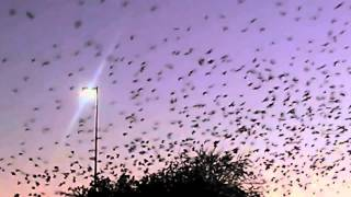 Eloy (AZ) United States  City new picture : Arizona Sunset Murmuration - A Flock of Starlings in Eloy, AZ