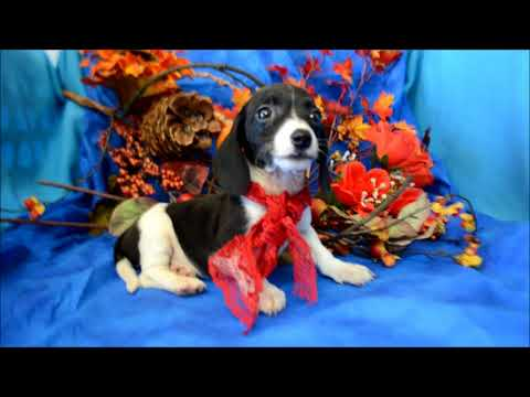 Pebbles AKC Black White Piebald Miniature Dachshund Puppy for sale.