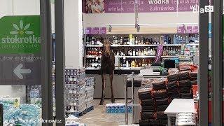 Łoś wszedł do sklepu w Sokółce. Zniszczył stoisko z alkoholem