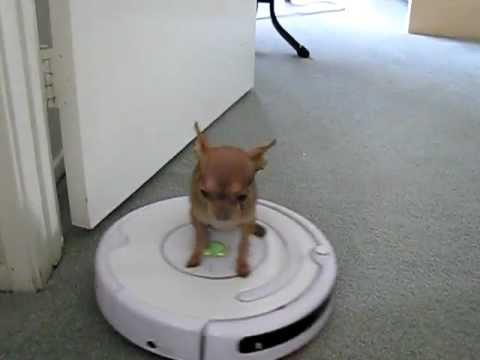 My Micro Chihuahua driving a vacuum...My little housekeeper ;))