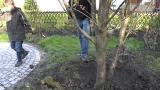 #598 Wie pflanze ich einen Grossbaum Teil 9v11 - Giessrand anlegen