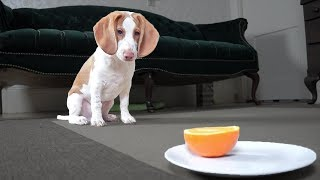 Cute Puppy vs. Orange: Cute Puppy Dogs Potpie & Maymo by Maymo