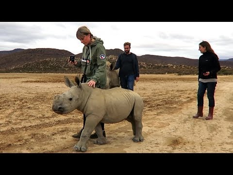 Cute Baby Rhinos Goes for a Walk
