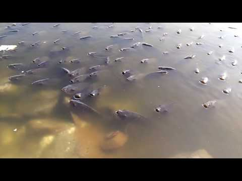 Video C.K.S JAL MAHAL WATER FISH ENJOYING download in MP3, 3GP, MP4, WEBM, AVI, FLV January 2017