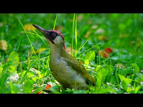 Зелёный дятел (European green woodpecker)
