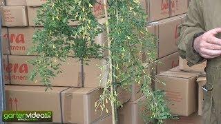 Der hängende Erbsenstrauch Caragana Arboescens Pendula