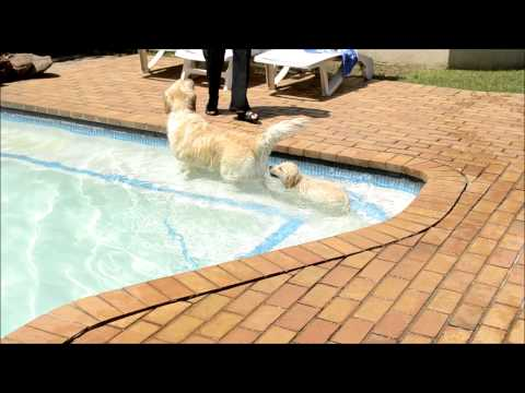 golden retriever puppy learning how to swim... too cute!!