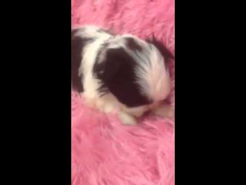 Female malteseShih-tzu . He is black and white. Will be 6-8lbs as adult