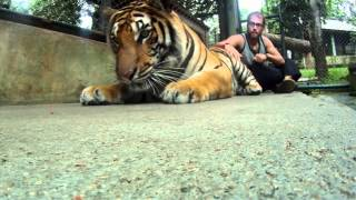 Tiger Kingdom Chiang Mai Thailand - Touch And Play With Tigers Amazing Experience