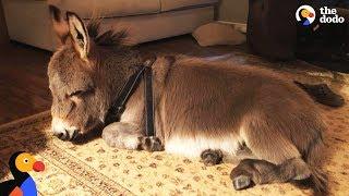 Tiny Donkey Thinks He's Actually A Dog    The Dodo