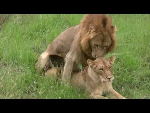 Lions Mating (Twice - Watch To The End!): Sex Education Lesson From Mala Mala, South Africa