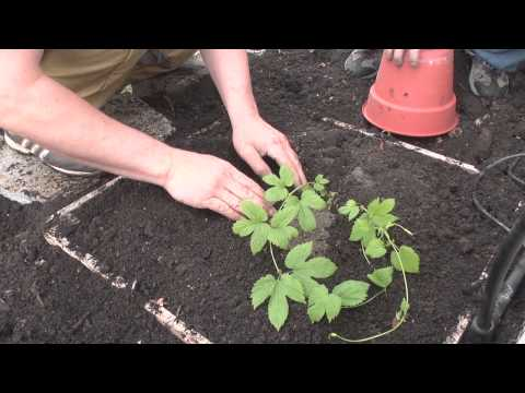 Hop - Another spring, another hop crop gets underway. In this episode of Chop & Brew, we look at the basic steps to planting hop rhizomes in containers and in the ...