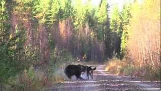 Video Björnjakt med ställande hund MP3, 3GP, MP4, WEBM, AVI, FLV Mei 2017