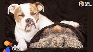 Tortoise Loves Pit Bull Dog Sister | The Dodo Odd Couples by The Dodo