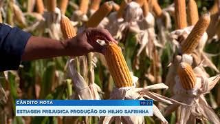 Estiagem prejudica a produção do milho safrinha no interior
